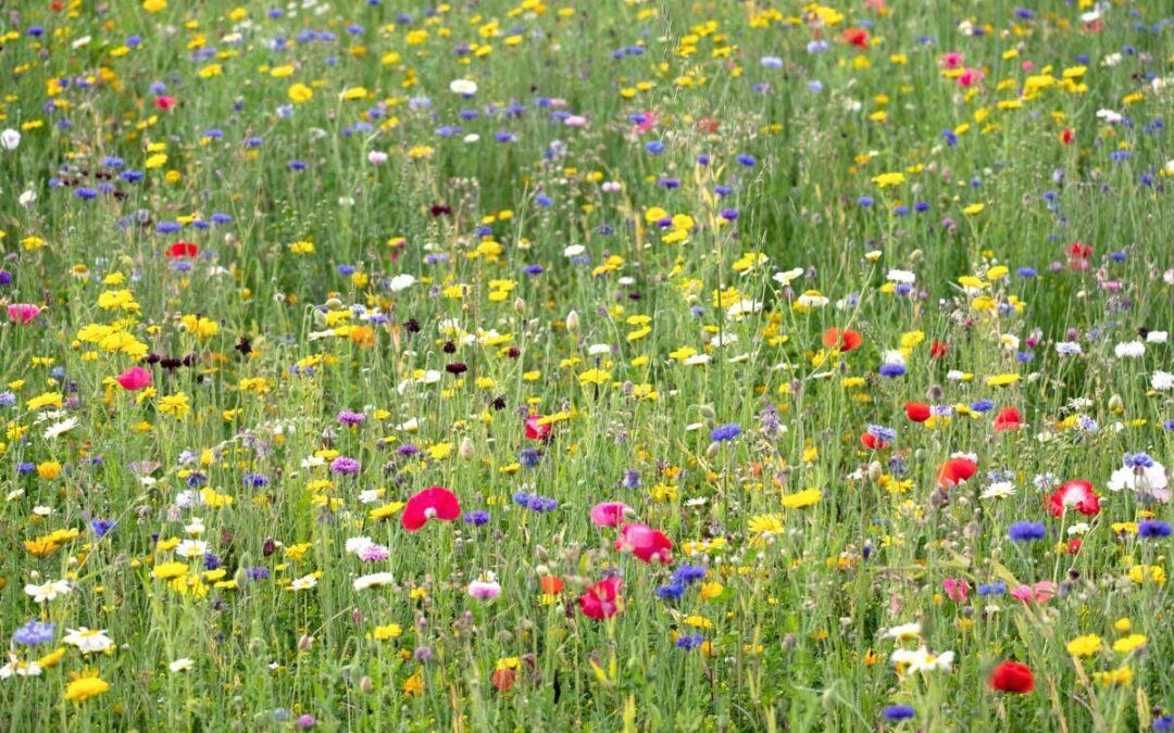 Kostenloses Saatgut für neue Blühflächen